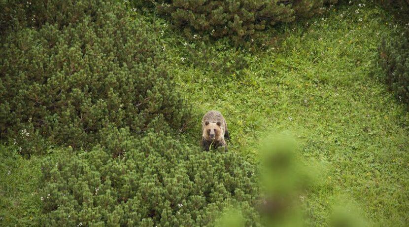 """""""W Tatrach grasują na wolności dzikie niedźwiedzie"""" – turysta skarży się TPN"""