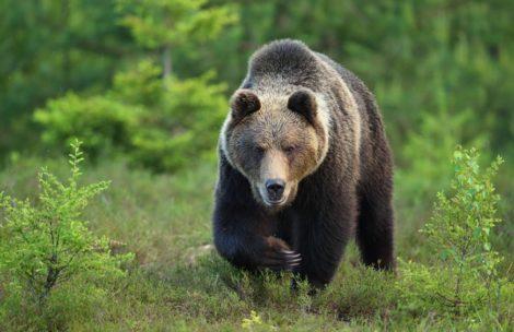 Niedźwiedź najprawdopodobniej zabił człowieka w Bieszczadach