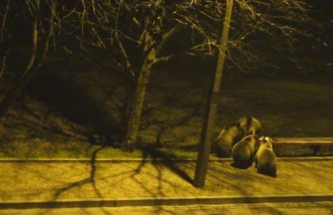 Niedźwiedzie na ul. Strążyskiej w Zakopanem (film)