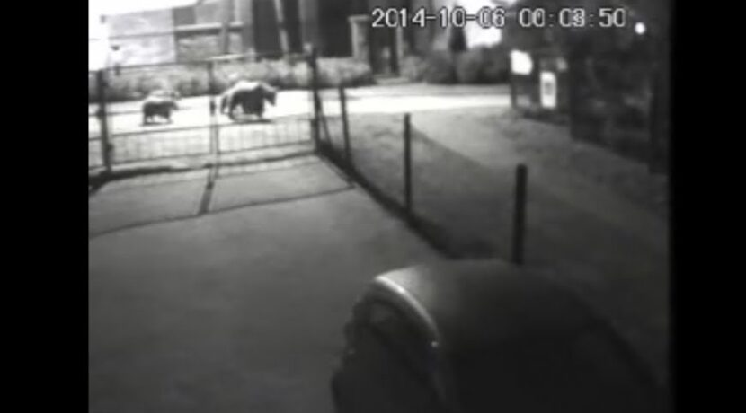 Nocny spacer niedźwiedzi po Zakopanem! Zobacz nagranie z kamery