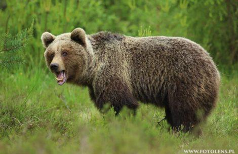 Niedźwiedź zaatakował mężczyznę w Bieszczadach