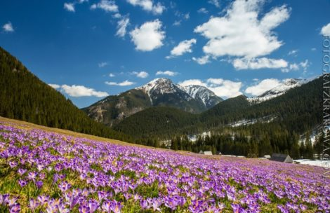 Krokusowe dywany w Tatrach – takie cuda natury w Polsce!
