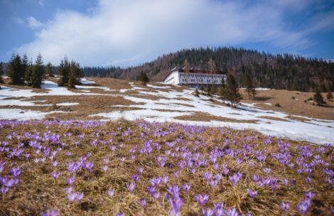 Krokusy w Tatrach – kwitną już także na Kalatówkach (ZDJĘCIA)