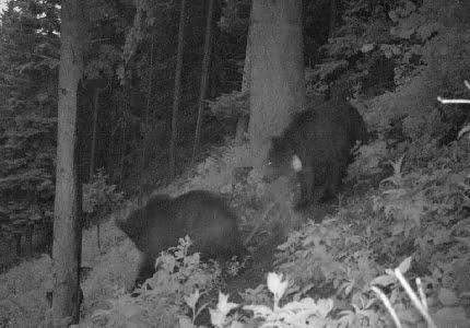 Niezwykła wyprawa tatrzańskiego niedźwiedzia – Iwo znowu w Polsce!