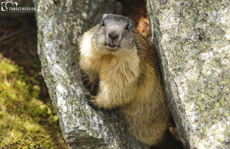 Wiosna w Tatrach: świstaki się obudziły i pozują do zdjęć