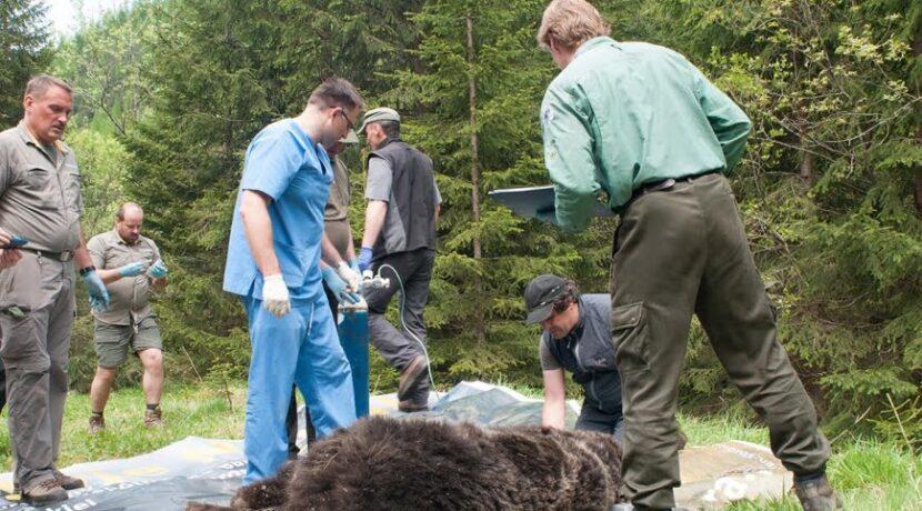 Strzelano do niedźwiedzia Eryka. Znane wyniki sekcji zwłok
