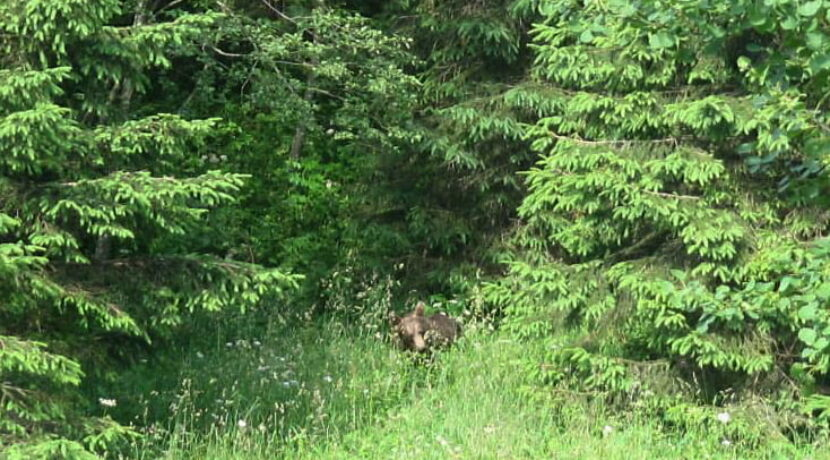 Spotkanie z niedźwiedziem w Dolinie Jaworzynki (ZDJĘCIA)