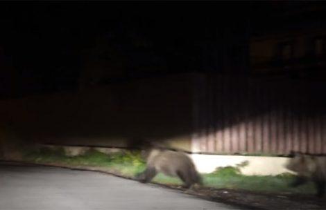 Ucieczka niedźwiedzicy i młodych z posesji w Zakopanem (FILM)