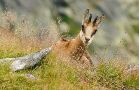 Tatrzański Park Narodowy policzył kozice. Populacja jest stabilna