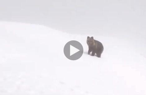 """Kolejne spotkanie """"oko w oko"""" z niedźwiedziem w Tatrach (FILM)"""