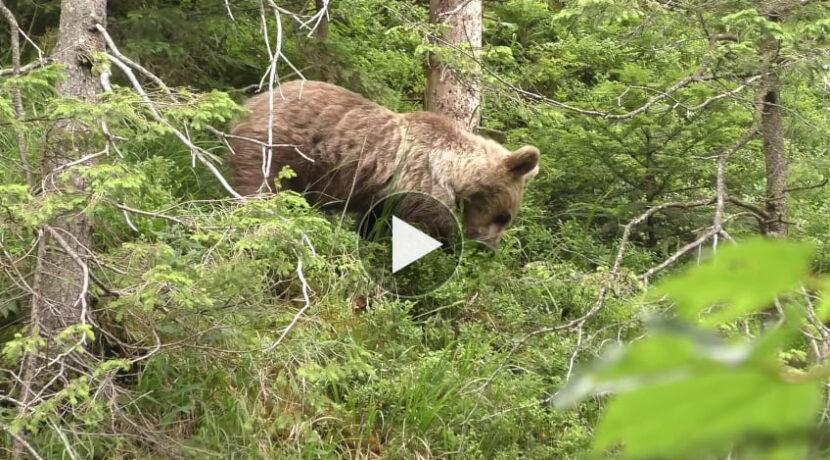 Niedźwiedź w Dolinie Białego (FILM)