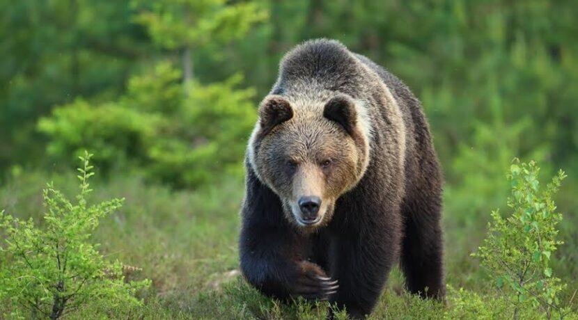 Tatry. Turyści uciekali przed niedźwiedziem, jeden z nich skręcił kostkę