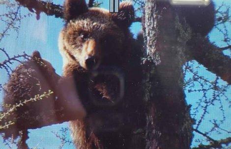 Nietypowa sytuacja pod Tatrami. Niedźwiedzica z młodymi na drzewie w centrum miasta (FILM)