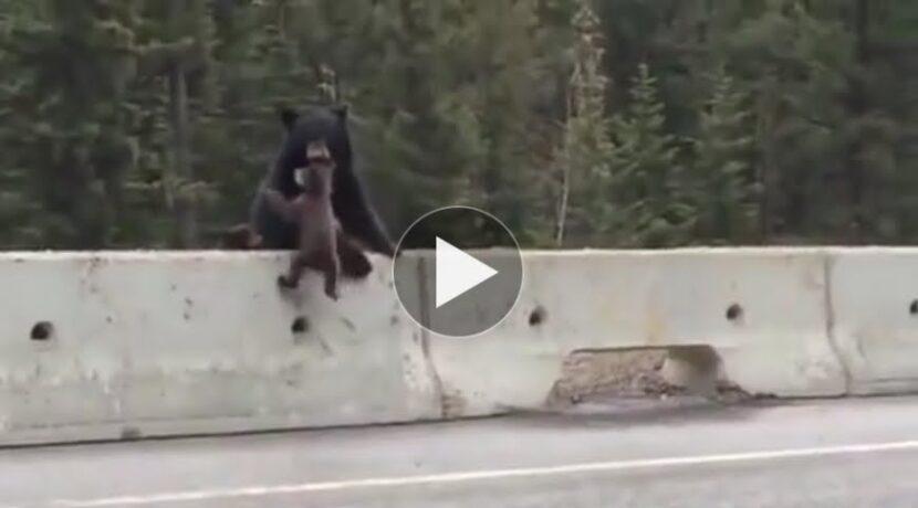 Wyniesiony w zębach. Matka ratuje małego niedźwiadka przed samochodami