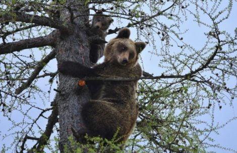 Słowacy zastrzelili tatrzańską niedźwiedzicę