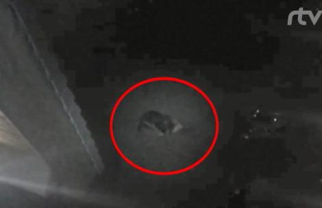 Tatry: niedźwiedź zabił jelenia na hotelowym parkingu (FILM)