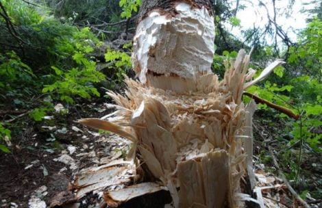 Ktoś ściął drzewo na szczycie Nosala. Straż Parku poszukuje sprawcy