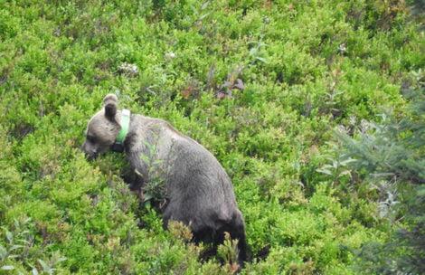 Niedźwiedź wpadł pod samochód pod Tatrami. Zwierzę nie żyje