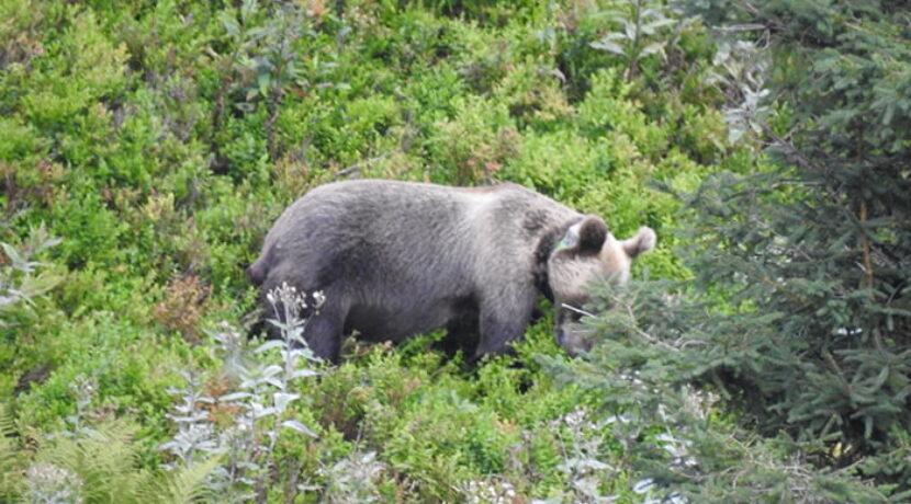 Niedźwiedź w Dolinie Kondratowej (ZDJĘCIA)