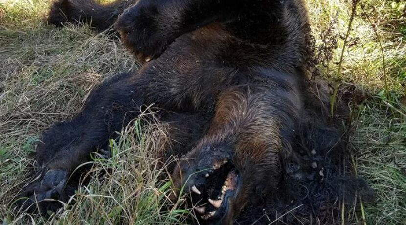 Martwa niedźwiedzica znaleziona w Tatrach (ZDJĘCIA)