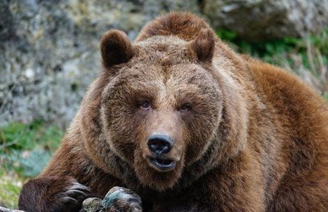 Słowacy chcą strzelać do niedźwiedzi. Będą zmiany w prawie?