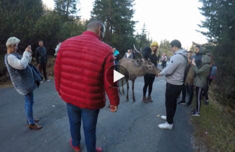 Jeleń na drodze do Morskiego Oka. Co robią turyści? (FILM)