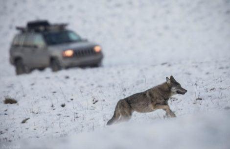 Para turystów goniła jeepem watahę wilków. Wszystko dla lepszego zdjęcia z telefonu