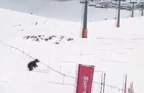 Niedźwiedź biegał po trasie narciarskiej pod Kasprowym Wierchem (FILM)
