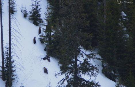 Niedźwiedzia rodzina na spacerze. Niezwykłe zdjęcia wykonane z kolejki na Kasprowy Wierch