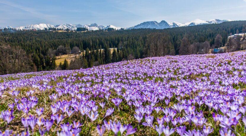 Gdzie poza Doliną Chochołowską podziwiać krokusy pod Tatrami?