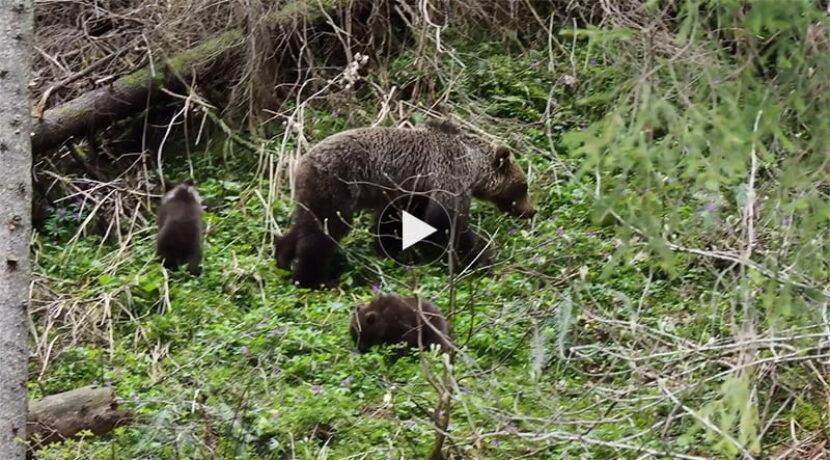 Niedźwiedzica z małymi w Dolinie Kościeliskiej (FILMY)
