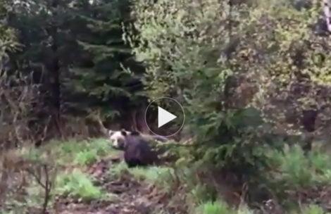 Niedźwiedź przy drodze pod Tatrami (FILM)