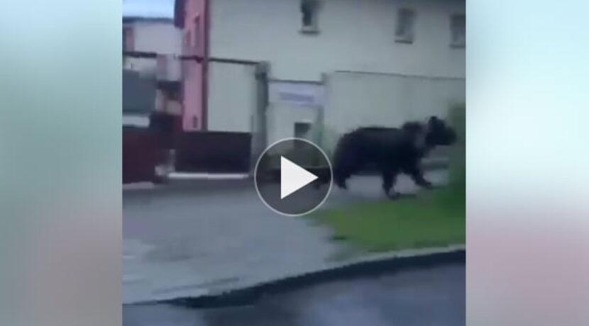 Niedźwiedź pędzi ulicami miasta. Wystraszony ucieka na drzewo (FILM)