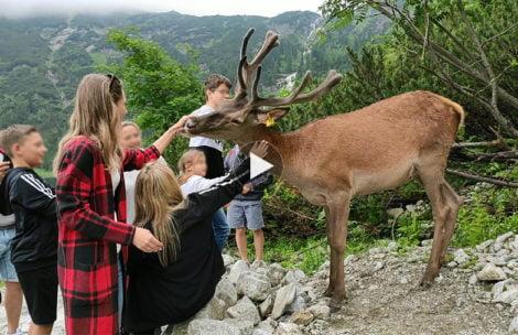 Jeleń nad Morskim Okiem. Co robią turyści? (FILM)