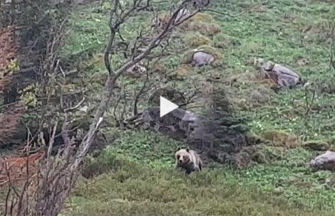 Niedźwiedź w Dolinie Małej Łąki (FILMY)