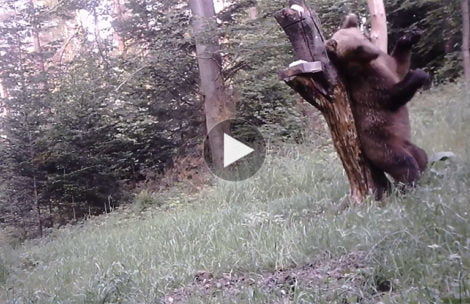 """Ten film """"zrobi Wam dzień""""! Niedźwiedź prezentuje taneczne umiejętności (WIDEO)"""