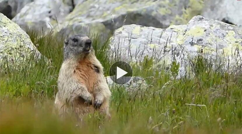 Spotkanie ze świstakiem pod Świnicą (FILM)