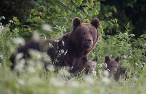Co robić w przypadku ataku niedźwiedzia? Jak go uniknąć? Oto szereg przydatnych porad