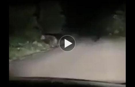 Spotkanie z niedźwiedziami na drodze pod Tatrami (FILM)