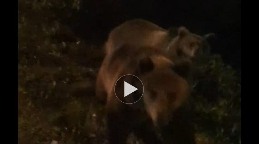 Bliskie spotkanie z niedźwiedziami pod Tatrami (FILM)