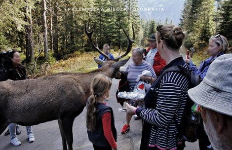 Nie dokarmiajcie dzikich zwierząt! Pokaz ignorancji w wykonaniu turystów w Tatrach (ZDJĘCIA)