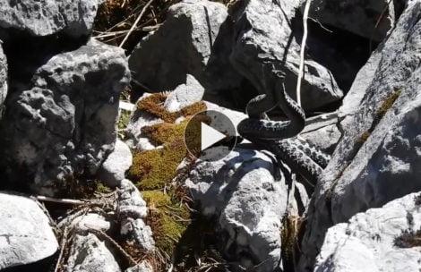 Walczące żmije w Tatrach! Nagranie, jakiego jeszcze nie widzieliście (FILM)