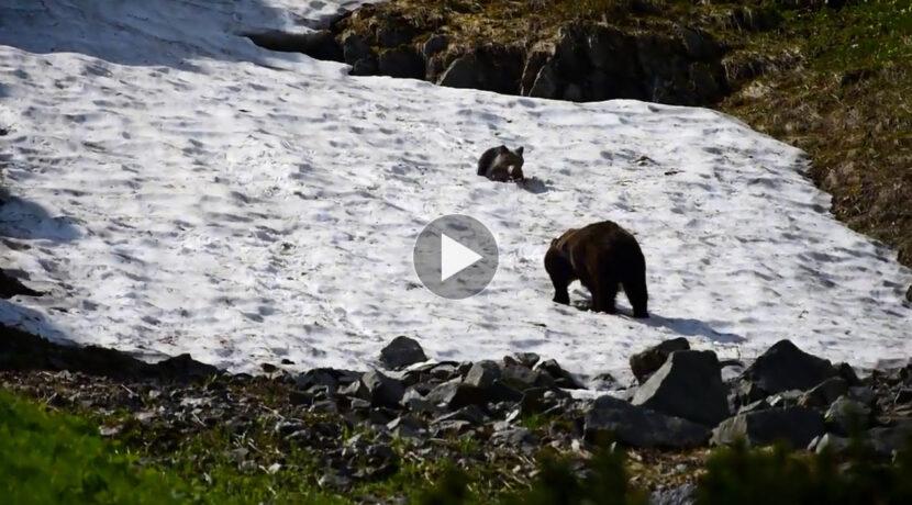 Ale frajda! Niedźwiedzie zabawy na śniegu (FILM)