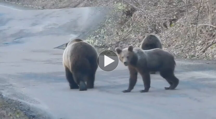 Turystów w górach brak, niedźwiedzia rodzina spaceruje środkiem drogi (FILM)