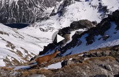 Jeleń-wędrowiec dotarł aż na Szpiglasowy Wierch (FILM)