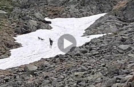 Najlepszy film z kozicami, jaki widzieliście! Dzikie szaleństwo na śniegu