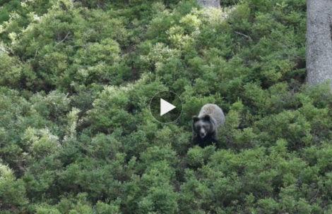 Spotkanie z niedźwiedziem w Dolinie Chochołowskiej (FILM)