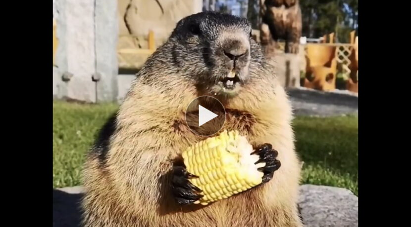 Czy świstaki mlaskają przy jedzeniu? Oto odpowiedź (FILM)