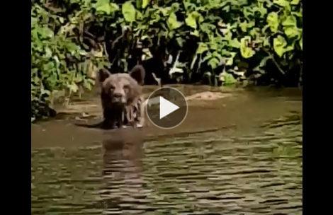 Niedźwiedź wykąpał się tuż obok schroniska w Dolinie Chochołowskiej (FILM)