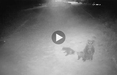 Niedźwiedzia rodzina pod Tatrami. Zobaczcie nagranie z hotelowej kamery (FILM)